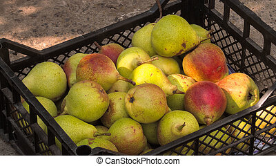 Ripe pears in a plastic box on the earth
