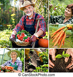 Harvesting - Senior gardener with harvested vegetables in...