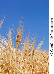 harvesting - close-up ears of wheat against the sky