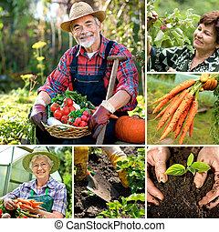 Harvesting - Senior gardener with harvested vegetables in...