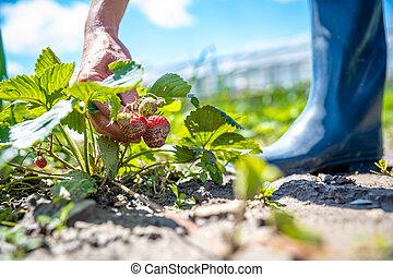 harvesting strawberries in a field on an organic farm