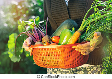Harvesting. The Kransy box with vegetables beet, carrots, a vegetable marrow, tomatoes, pepper in female hands