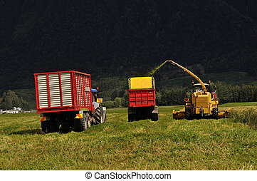 harvesting triticale for silage - Farmers harvest a crop of...