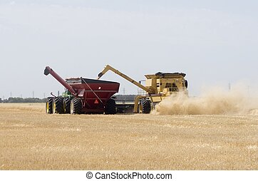 Harvesting wheat - A combine unloads harvested wheat into a...