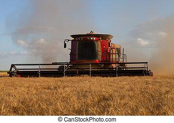 Harvesting Wheat - Combine harvesting spring wheat.