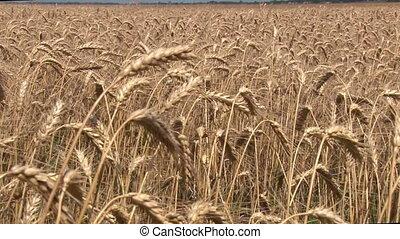 harvesting wheat harvester 0