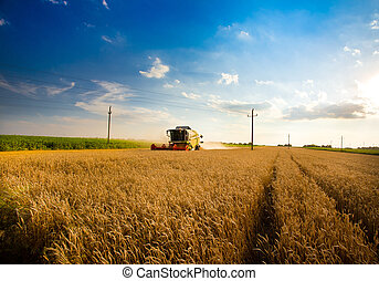 Harvesting wheat - Working harvesting combine in the field...
