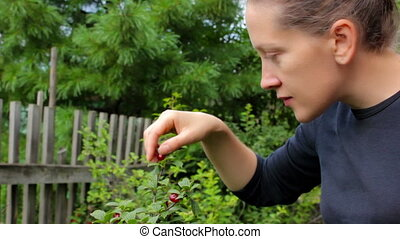 Harvesting. Young woman picking and eats cherry berries