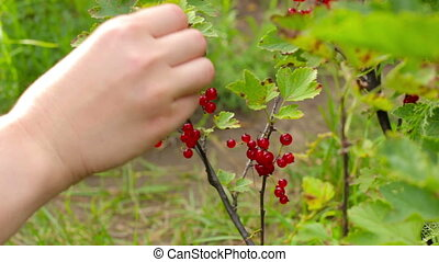 Harvesting. Young woman picking and eats currant berries