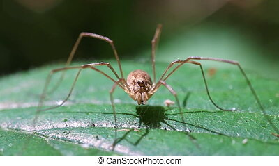 Harvestman - macro - Harvestman - Rilana triangularis in a...