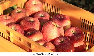 Harvests of apples.