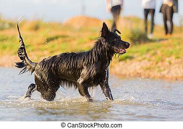 Harzer Fuchs - Australian Shepherd hybrid plays in a lake
