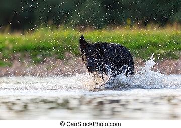Harzer Fuchs - Australian Shepherd hybrid running in a lake