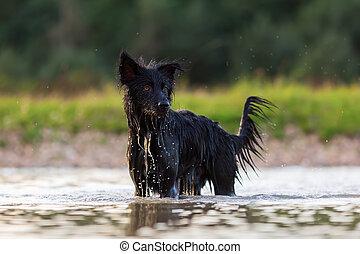 Harzer Fuchs - Australian Shepherd hybrid standing in a lake