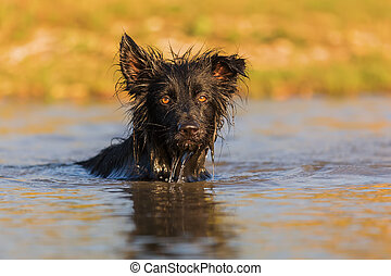 Harzer Fuchs-Australian Shepherd hybrid swims in a lake
