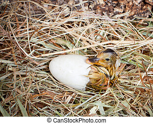 Hatching of a duckling - Hatching of a yellow duckling out...