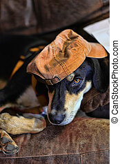 hatt, hund