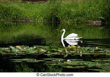 hattyú, vitorlázás, képben látható, a, tó, alatt, egy, erdő