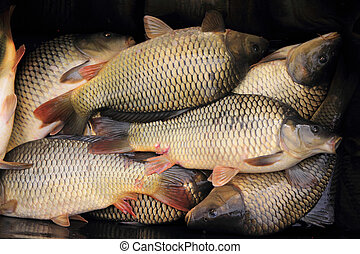 haul of carp fishes