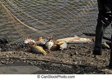 haul of carp fishes