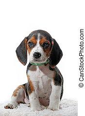 haustier, beagle, junger hund