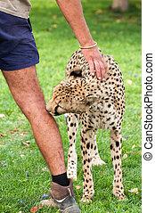 haustier, gepard