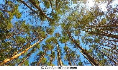 haut angle, arbres, tourner, forêt, pin, vue