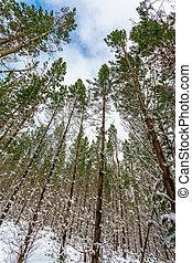 haut, arbres, regarder, pin, grand, couvert, forêt, neige