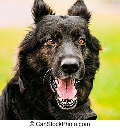 haut, berger, fin, allemand, chien