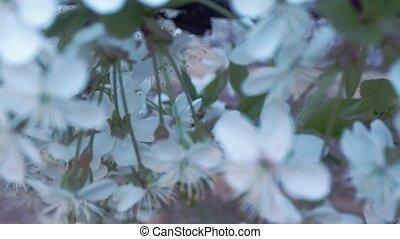 haut, cerise, feuilles, arbre, foyer, brouillé, arrière-plan., flowers., sélectif, vert, sakura, branche, fleurir, fin, fleurs blanches