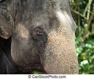 haut fin, éléphant asiatique