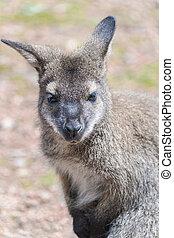 haut., fin, kangourou, vue