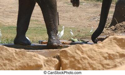 haut., graz, africaine, voisinage, en mouvement, éléphant, fin, pattes, réserve