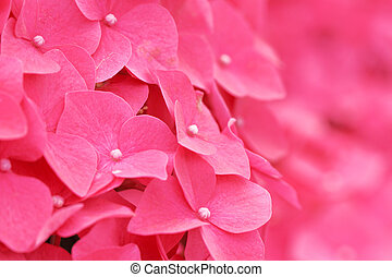 haut, hortensia, fin, fleur, rose