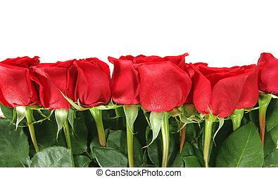 haut, isolé, roses, fond, blanc, revêtu, rang