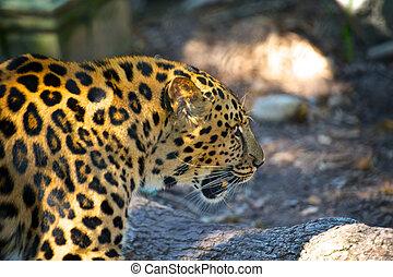 haut, léopard, fin