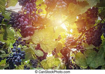 haut., lumière soleil, fin, vignoble