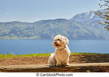 Havanese dog at lake Attersee