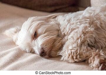 Havanese dog having an afternoon nap.