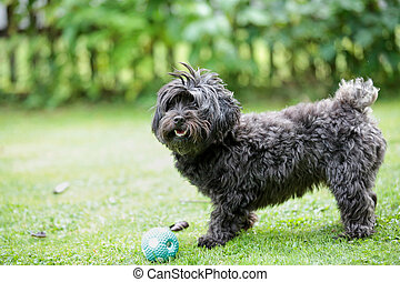 Havanese dog playing with a ball in the garden