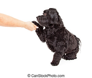 Havanese Dog Sitting and Preforming Paw Shake