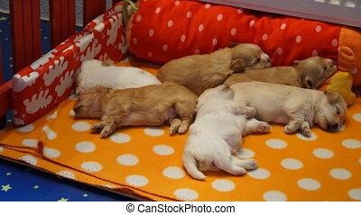 havanese, dormir, timelaps, puppys