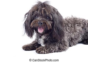 havanese, perro, posición, en, un, fondo blanco