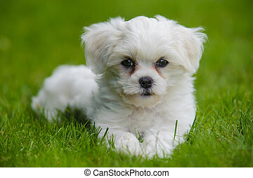 havanese pppy dog in grass