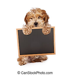 A Havanese and poodle mixed breed puppy standing up and holding a blank chalk board