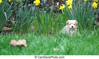 Havanese puppy sitting in the grass and suddenly gets...
