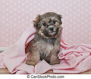 Havanese Puppy - Sweet Little Havanese puppy sitting in a...