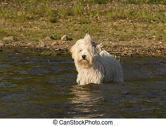 Havaneser Hund im Wasser
