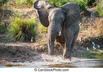 Have angered. Running African savanna elephant (The African...