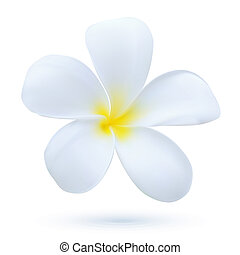 Hawaii flower Frangipani, white tropical Plumeria exotic plant blossom vector art